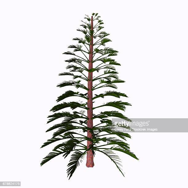 Walchia tree on white background.