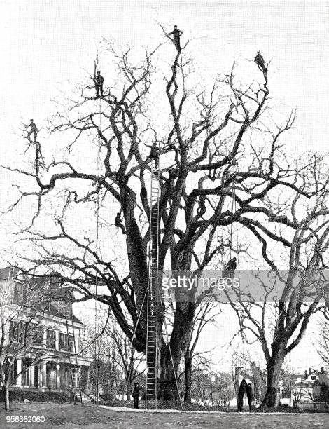 Walden, USA: Killing the eggs of the gypsy moth on an old elm