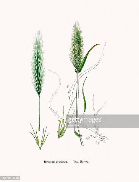 wall barley grass - barley stock illustrations, clip art, cartoons, & icons