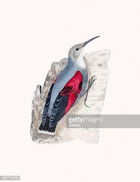 wall creeper bird - pika stock illustrations