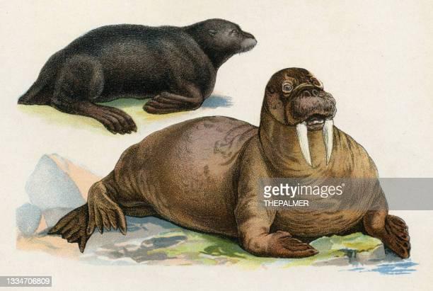 stockillustraties, clipart, cartoons en iconen met walrus and seal illustration 1899 - zoogdier