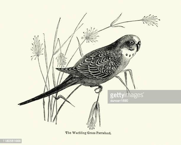 illustrations, cliparts, dessins animés et icônes de perruche d'herbe de warbling - perroquet