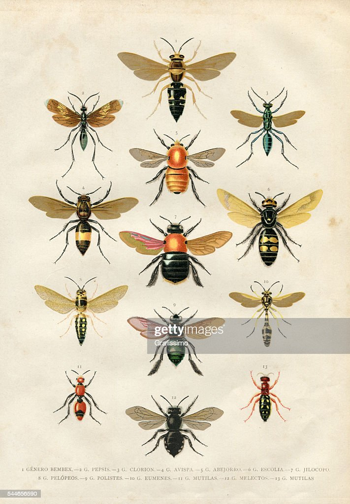 Wasp bumblebee insects illustration 1881 : stock illustration