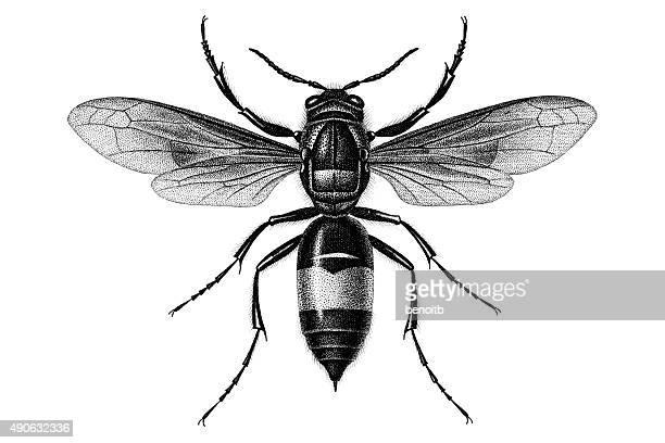 illustrations, cliparts, dessins animés et icônes de guêpe - insecte