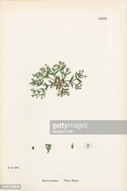 water blinks, montia fontana, victorian botanical illustration, 1863 - sandwort stock illustrations, clip art, cartoons, & icons