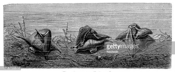 water caltrop - trapa stock illustrations