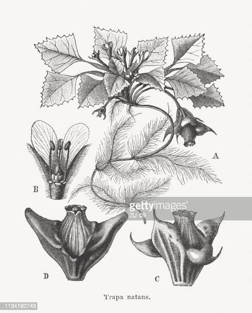 Water caltrop (Trapa natans), wood engravings, published in 1897