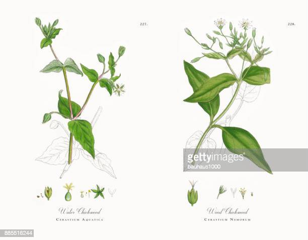 ilustrações, clipart, desenhos animados e ícones de água chickweed, cerastium aquatica, ilustração botânica vitoriana, 1863 - chickweed