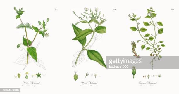 water chickweed, cerastium aquatica, victorian botanical illustration, 1863 - chickweed stock illustrations, clip art, cartoons, & icons