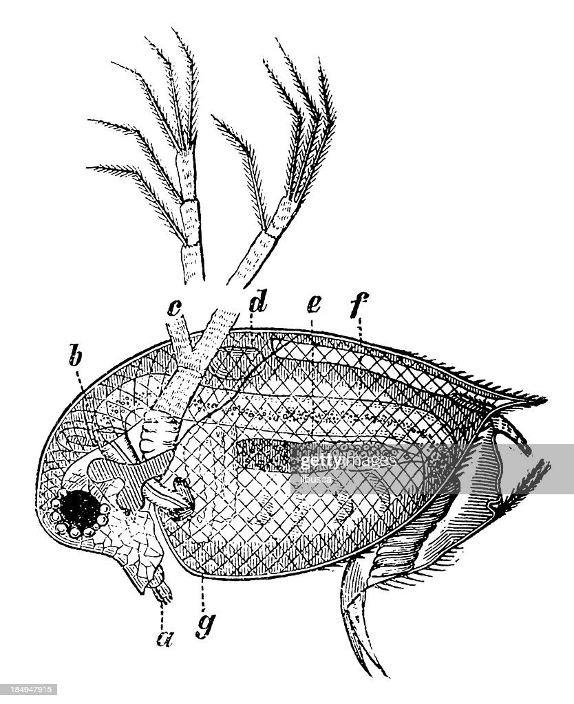Water Flea Stock Illustration Getty Images