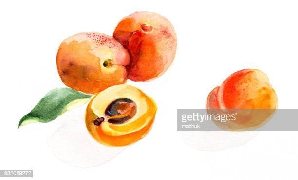 Aquarelle d'abricot
