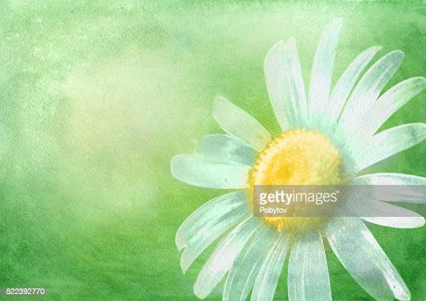 watercolor background with daisy - daisy stock illustrations, clip art, cartoons, & icons