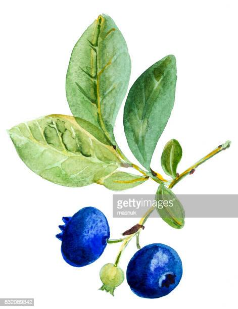 watercolor blueberry - blueberry stock illustrations, clip art, cartoons, & icons