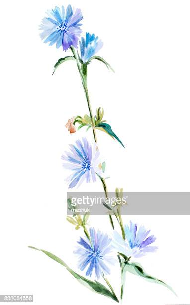 watercolor cichory - chicory stock illustrations, clip art, cartoons, & icons