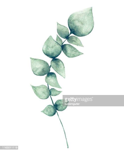 illustrations, cliparts, dessins animés et icônes de feuille d'eucalyptus d'aquarelle - fleur tropicale