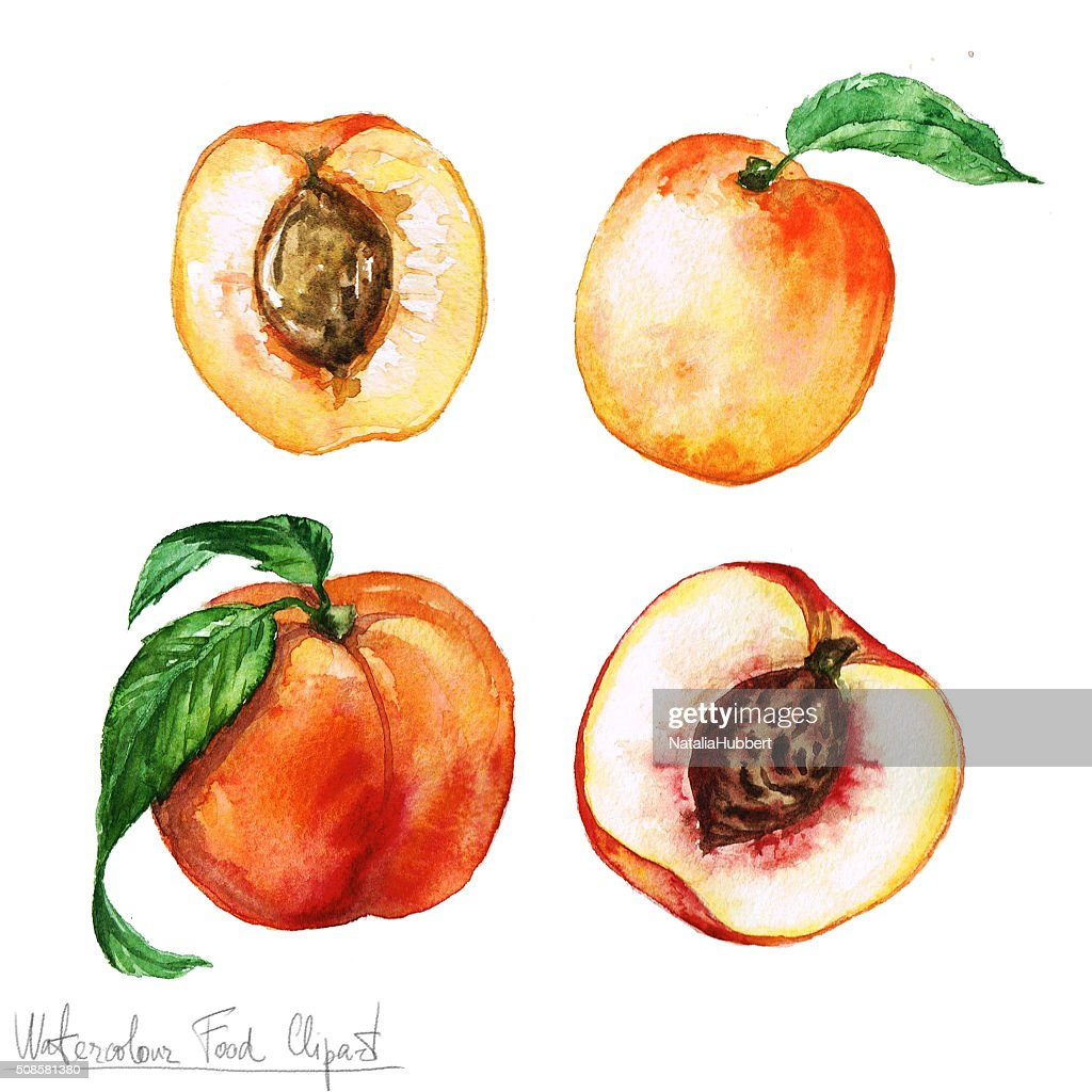 Watercolor Food Clipart - Apricot and Peach : Stock Illustration