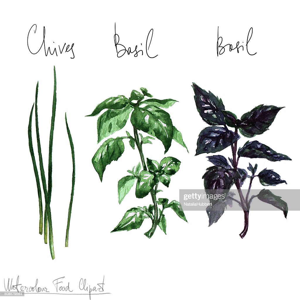Watercolor Food Clipart - Herbs : Stock Illustration