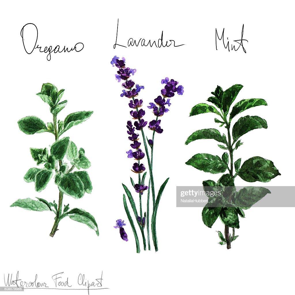 Cibo ad acquerello Clipart-erbe aromatiche : Illustrazione stock