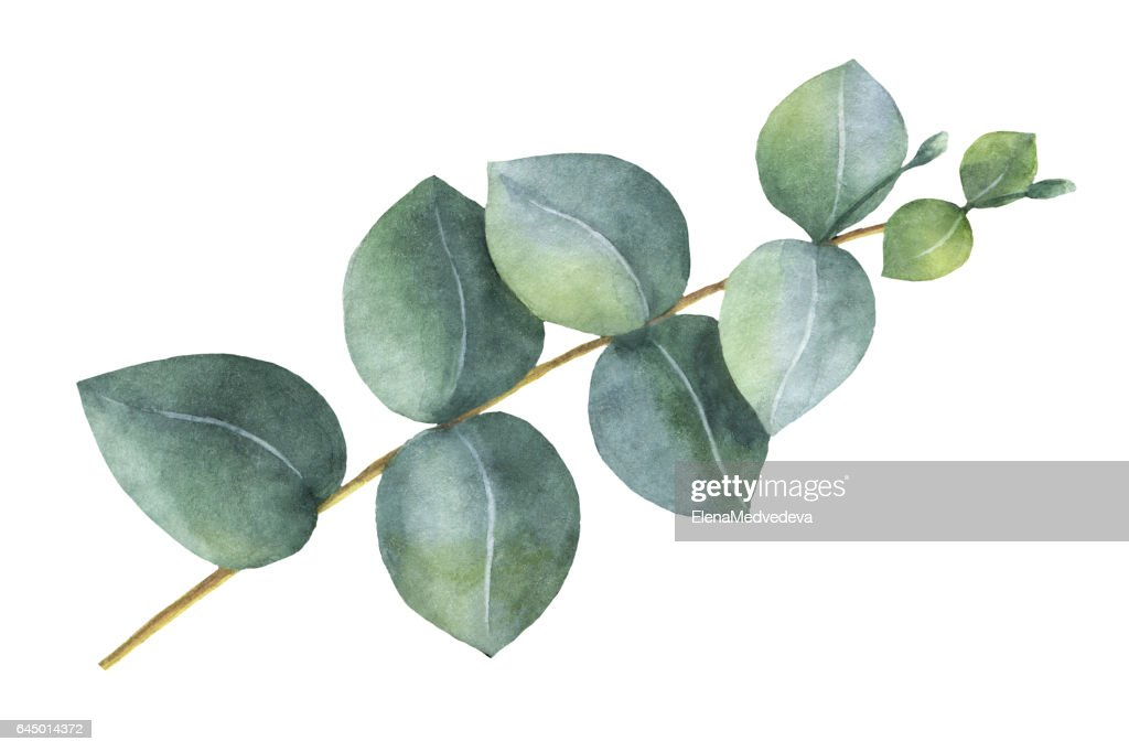 free eucalyptus branch images  pictures  and royalty free vine clip art free vine clip art no background