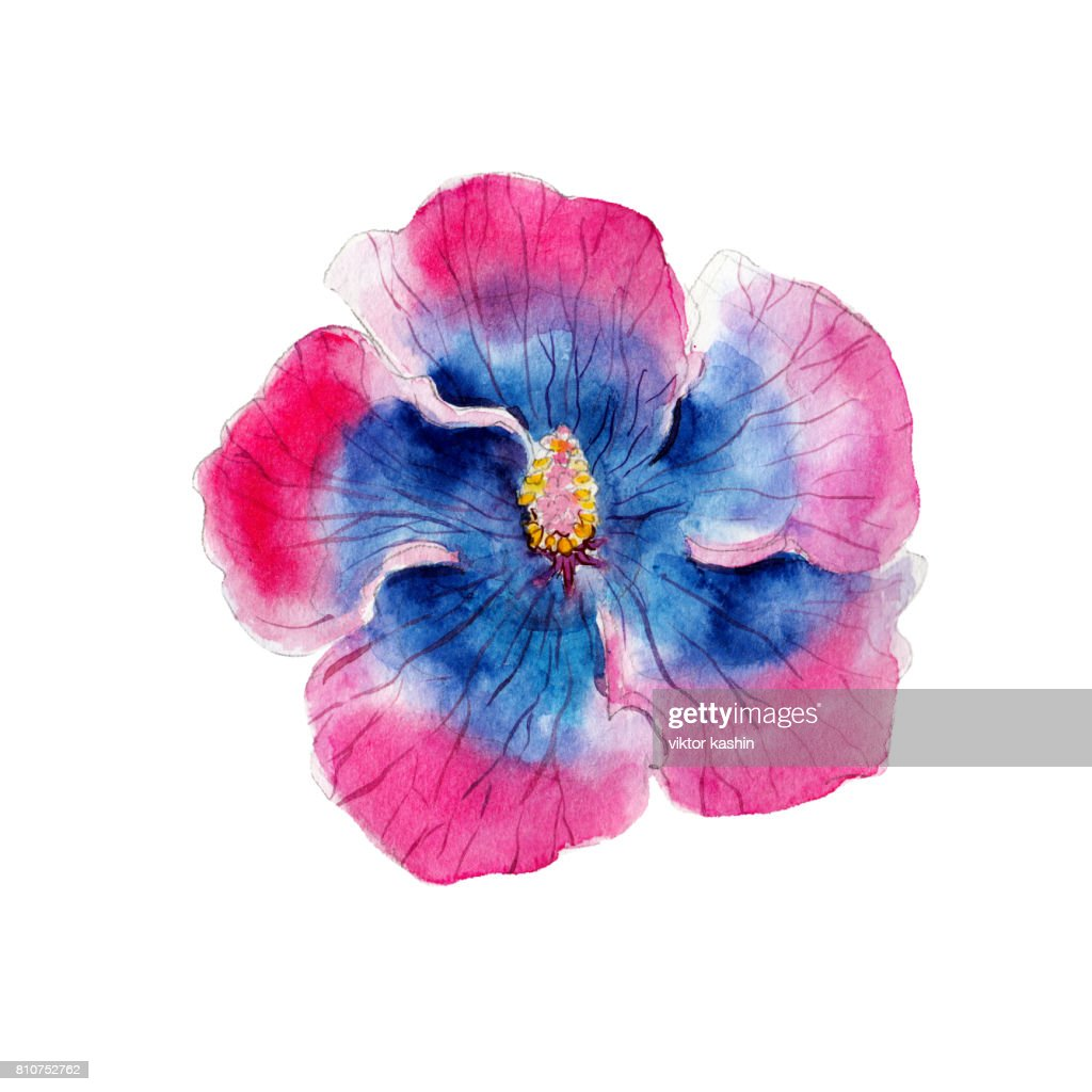 Watercolor Hibiscus Flower Hand Drawn Isolated On White Background