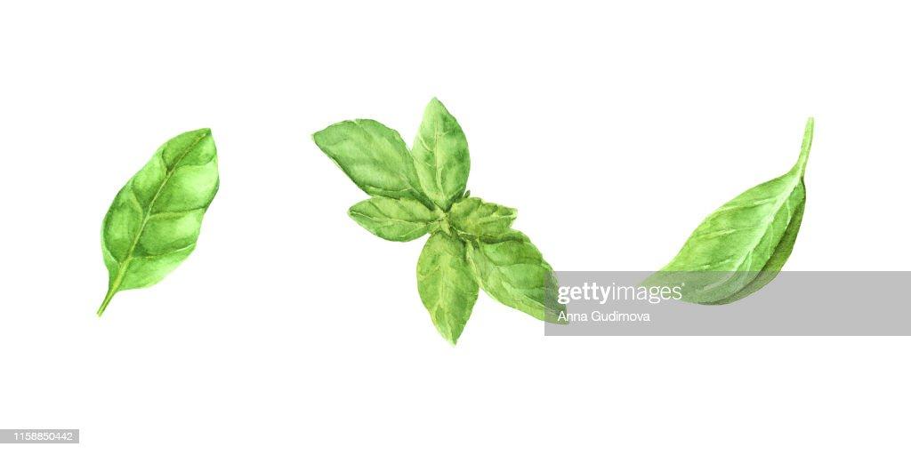watercolor illustration set fresh green basil leaves : stock illustration