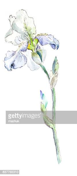 watercolor painting iris