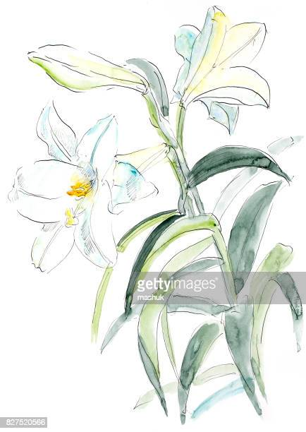 watercolor painting lily - lily stock illustrations, clip art, cartoons, & icons