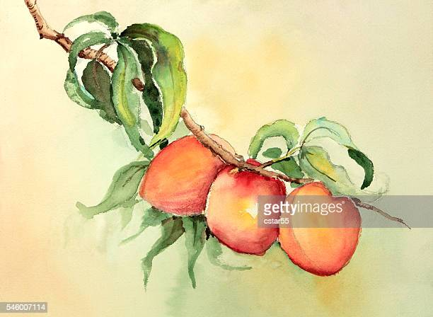 Watercolor painting of peaches or apricots on a branch