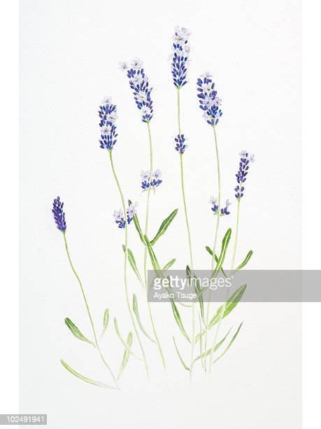 ilustraciones, imágenes clip art, dibujos animados e iconos de stock de a watercolor painting of stems of lavender - lavanda