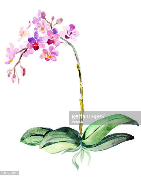 watercolor painting orchid - portulaca stock illustrations, clip art, cartoons, & icons