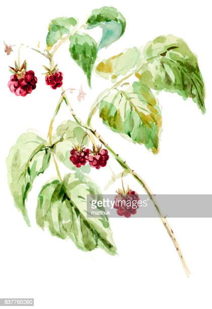 watercolor painting raspberry - raspberry stock illustrations, clip art, cartoons, & icons