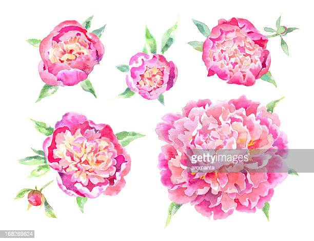 Watercolor Peonies