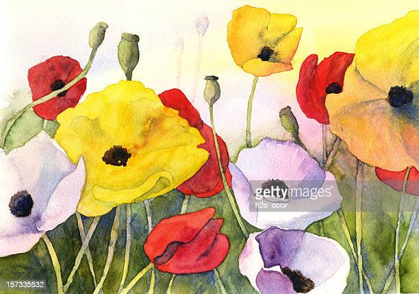 watercolor poppies - poppy stock illustrations