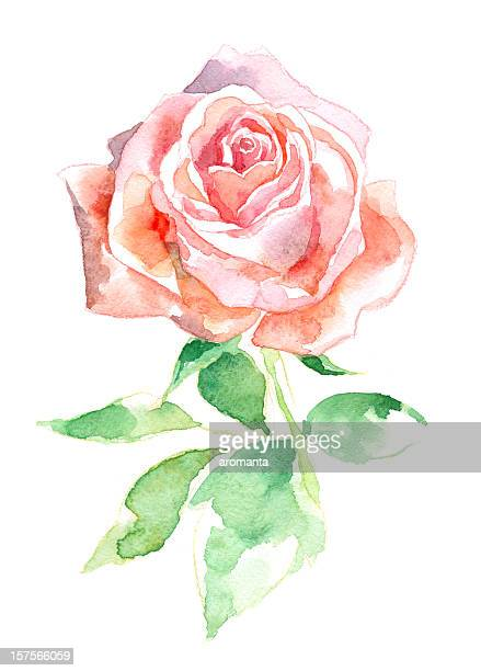 watercolor rose - rose flower stock illustrations, clip art, cartoons, & icons