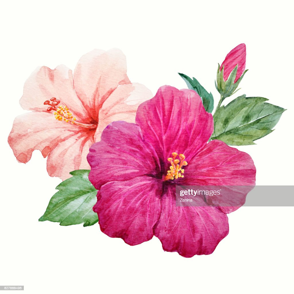 Watercolor Tropical Hibiscus Flower Stock Illustration Getty Images