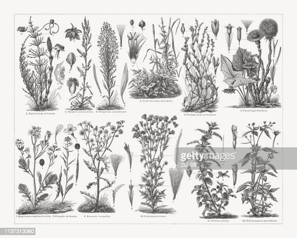 weeds, wood engravings, published in 1897 - reed grass family stock illustrations