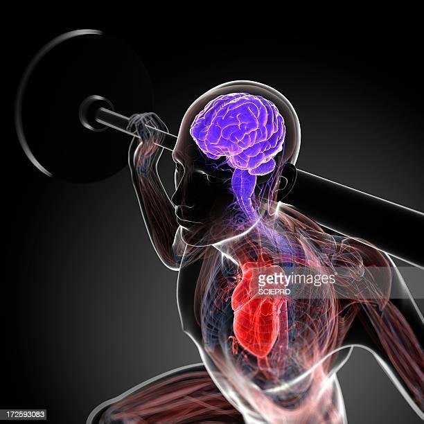 ilustrações, clipart, desenhos animados e ícones de weightlifter, artwork - cardiovascular exercise