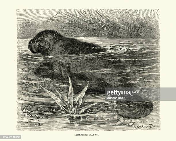 west indian manatee (trichechus manatus) or sea cow, aquatic mammal - florida manatee stock illustrations