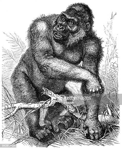 Western gorilla (Gorilla gorilla)