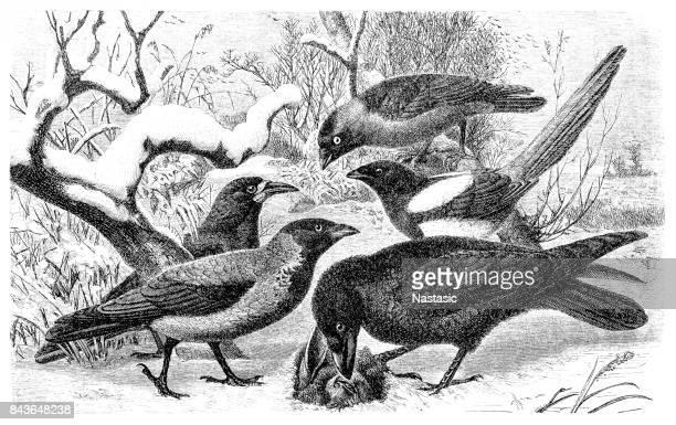 western jackdaw, corvus monedula, rook, corvus frugilegus, hooded crow, corvus cornix, eurasian magpie, pica pica, common raven - magpie stock illustrations