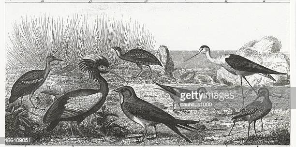 Wetland Birds Engraving