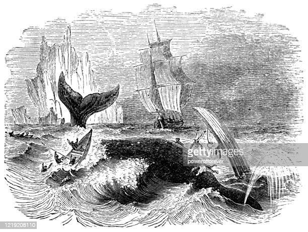 whalers hunting a north atlantic right whale - 19th century - powerofforever stock illustrations