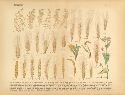 Wheat, Rice and Grains, Victorian Botanical Illustration - gettyimageskorea