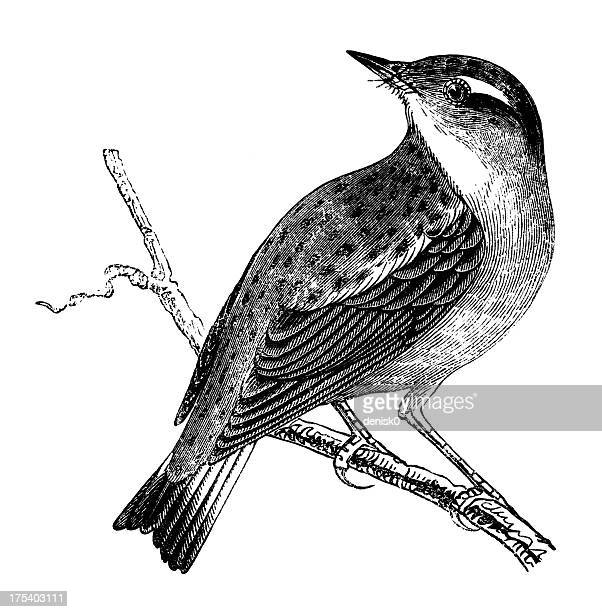 whinchat - engraved image stock illustrations