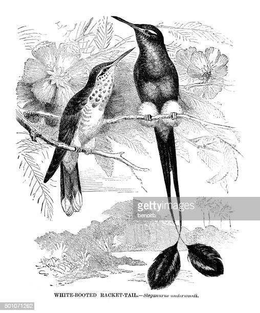 white booted racket-tail - hummingbird stock illustrations, clip art, cartoons, & icons
