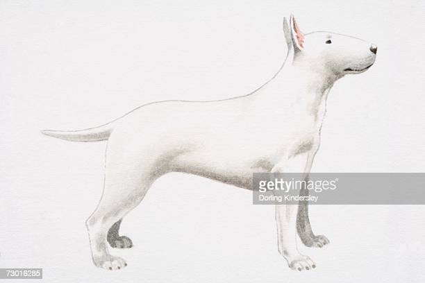 White Bull Terrier (Canis familiaris), side view.