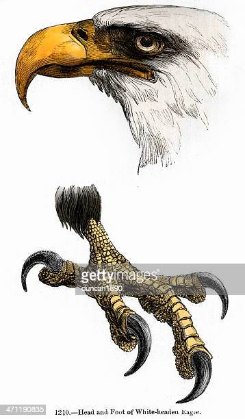 white headed bald eagle - talon stock illustrations