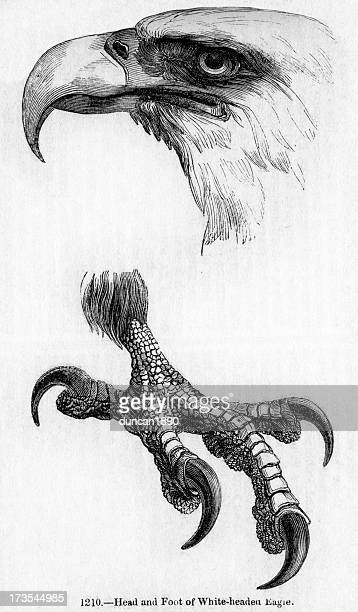 white headed eagle - talon stock illustrations