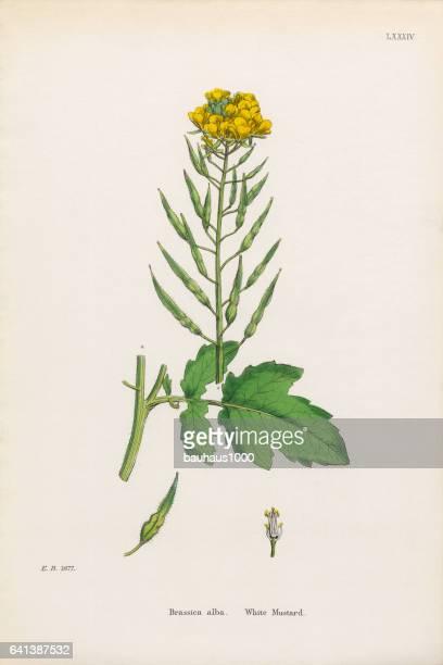 ilustrações, clipart, desenhos animados e ícones de branco, mostarda, brassica alba, ilustração botânica vitoriana, 1863 - bok choy