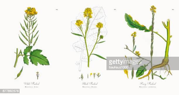 white mustard, brassica alba, victorian botanical illustration, 1863 - bok choy stock illustrations, clip art, cartoons, & icons